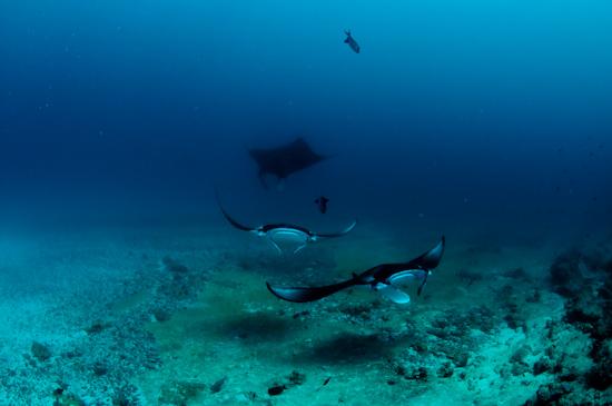Maldives Manta Rays Donkalo 2