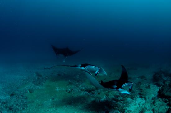 Maldives Manta Rays Donkalo 3