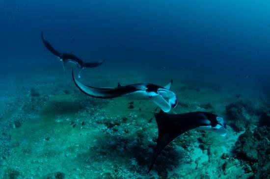 Maldives Manta Rays Donkalo 4
