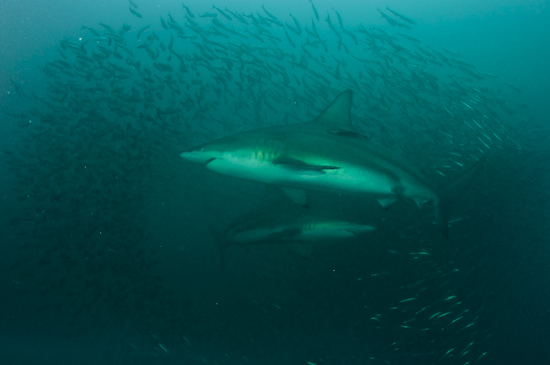 Two sharks make a baitball of sardines scatter around them