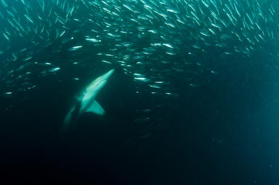 A shark noses into a large sardine baitball