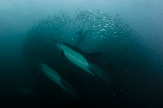 Dolphins scatter a sardine baitball while a gannet attacks from above