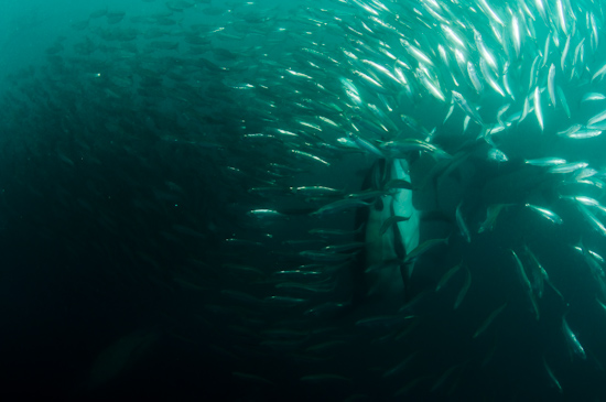 Dolphins shoot up through the sardine baitball in a sudden attack