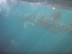 Whale Shark Pics On Flickr