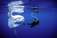 The Amazing Mola Mola Sunfish