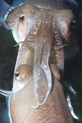 Cuttlefish Mating At Palong Bay, Phi Phi Islands, Thailand
