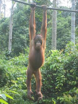 Borneo: Sepilok Orangutan Sanctuary
