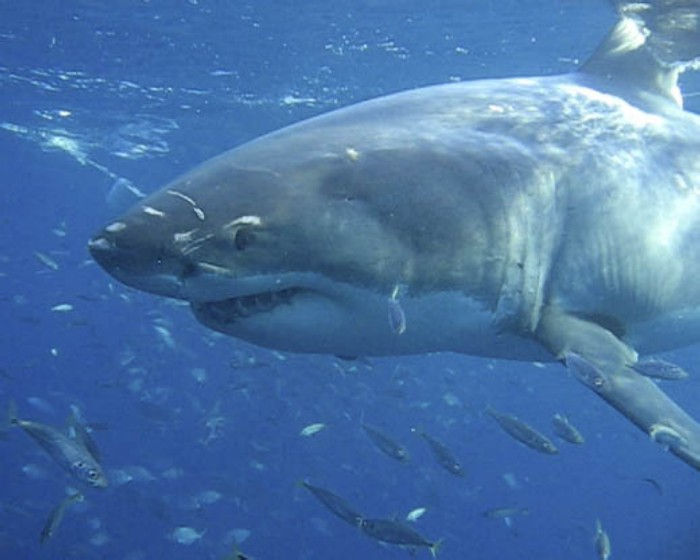 Are There Great White Sharks In Thailand?