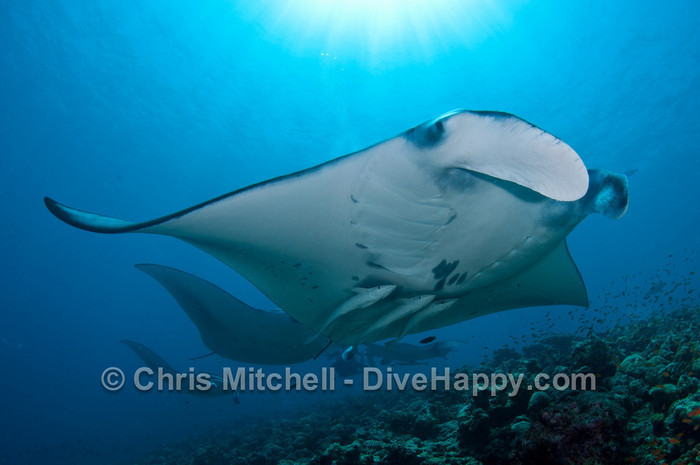 Maldives Manta Rays – A Spectacular Close Encounter At Rangali Madivaru, Maldives