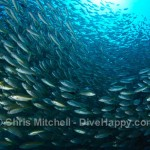 Yellow snapper schooling, Richelieu Rock, Richelieu Rock, Similan Islands, Thailand