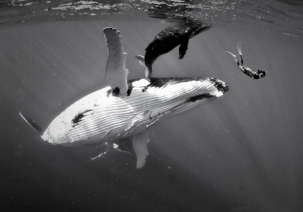 Tonga Humpback whale and baby with snorkeller by Tim Rock